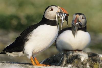 Puffin Two with Sandeels in Beak--Photographic Print