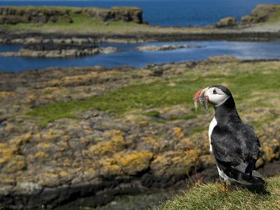Puffin with Beak Full of Sand Eels, Isle of Lunga, Treshnish Isles, Inner Hebrides, Scotland, UK-Andy Sands-Photographic Print