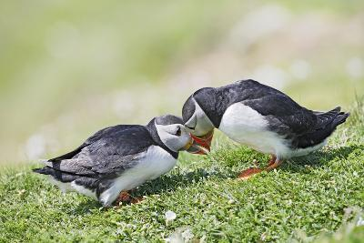 Puffins Courtship--Photographic Print