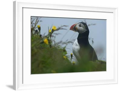 Puffins, Fratercular Arctica, at Dyrholaey Headland-Raul Touzon-Framed Photographic Print