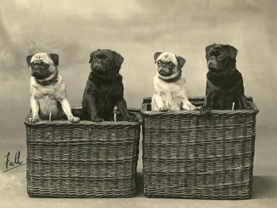 Pug 1926--Photographic Print