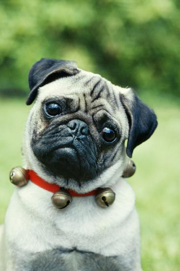 Pug Dog Wearing Collar with Bells--Photographic Print