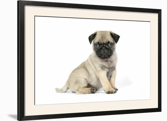 Pug (Fawn) 7 Week Old Puppy--Framed Photographic Print
