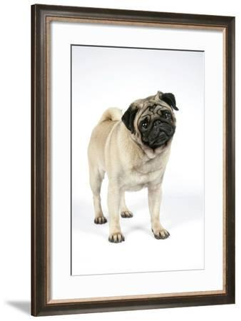 Pug (Fawn) with its Head Cocked--Framed Photographic Print