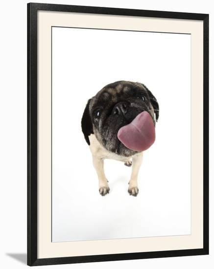 Pug Licking the Screen--Framed Photographic Print