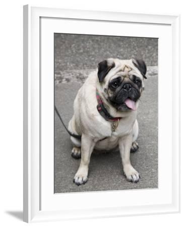Pug on A Leash-David Herbig-Framed Photographic Print