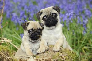 Pug Puppies Standing Together in Bluebells