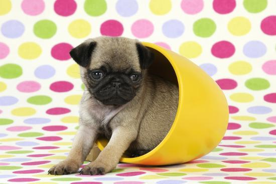 Pug Puppy (6 Wks Old) in a Yellow Pot--Photographic Print