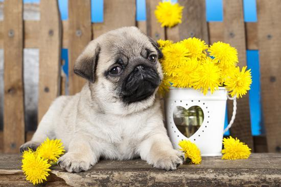 Pug Puppy And Spring Dandelions Flowers-Lilun-Photographic Print