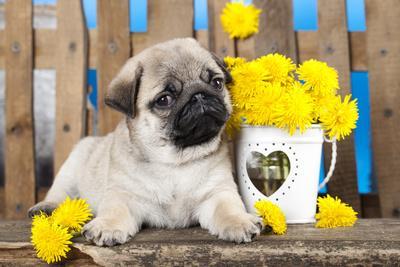 https://imgc.artprintimages.com/img/print/pug-puppy-and-spring-dandelions-flowers_u-l-q1035b50.jpg?p=0