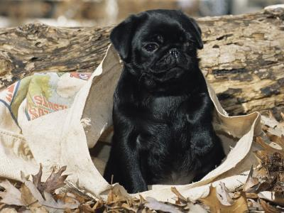 Pug Puppy in Sacking, USA-Lynn M^ Stone-Photographic Print
