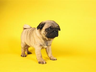 https://imgc.artprintimages.com/img/print/pug-puppy_u-l-pzlqym0.jpg?p=0