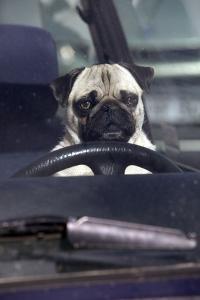 Pug Sitting Behind Wheel of Car