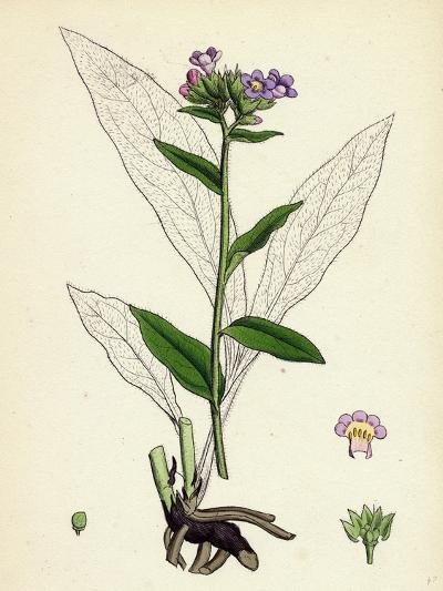 Pulmonaria Angustifolia Narrow-Leaved Lungwort--Giclee Print