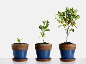 Potted Orange Trees by Pulse
