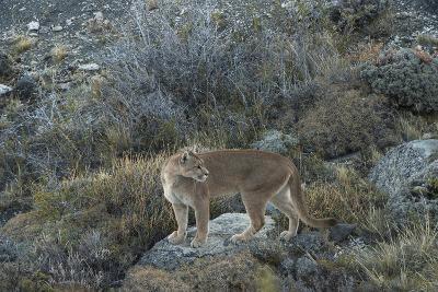 Puma Female, Lago Sarmiento, Torres del Paine NP, Patagonia, Chile-Pete Oxford-Photographic Print