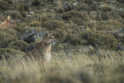 Puma Female, Torres del Paine NP, Patagonia, Magellanic Region, Chile-Pete Oxford-Photographic Print