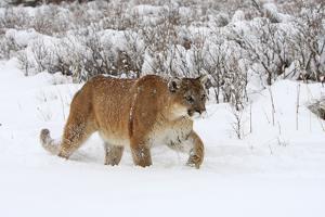 Puma in Snow