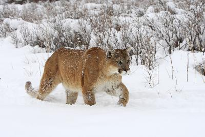 Puma in Snow--Photographic Print