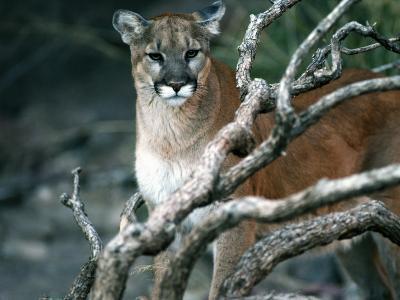 Puma in Sonoran Desert-Jeff Foott-Photographic Print