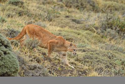 https://imgc.artprintimages.com/img/print/puma-puma-concolor-patagonia-chile-south-america_u-l-q1bs2ge0.jpg?p=0