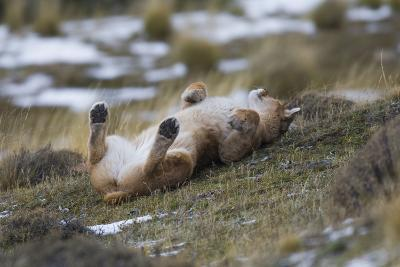 Puma (Puma Concolor) Rolling on Back, Torres Del Paine National Park, Chile, June-Gabriel Rojo-Photographic Print
