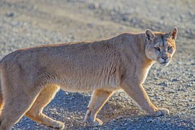 Puma (Puma Concolor) (Wild Puma), Patagonia, Chile, South America-Pablo Cersosimo-Photographic Print