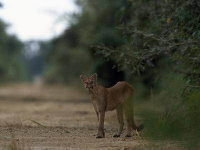 Puma Stands at the Edge of a Road-Steve Winter-Photographic Print
