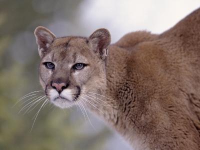 Puma-Ernest Manewal-Photographic Print