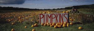 Pumpkin Field, Seattle, Washington State, United States of America, North America