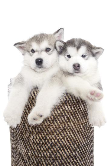 Puppies 018-Andrea Mascitti-Photographic Print