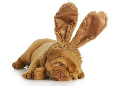 Puppy Wearing Bunny Ears - Dog De Bordeaux Wearing Easter Bunny Ears on White Background-Willee Cole-Photographic Print