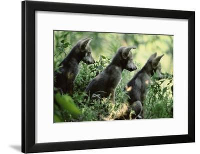 Pups of Captive Mexican Gray Wolves-Joel Sartore-Framed Photographic Print