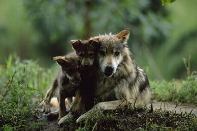 Pups of Captive Mexican Gray Wolves-Joel Sartore-Photographic Print