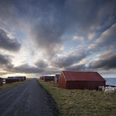 Red Huts and Sheep at Sunset on Coast, Lofoten Islands, Norway, Scandinavia, Europe
