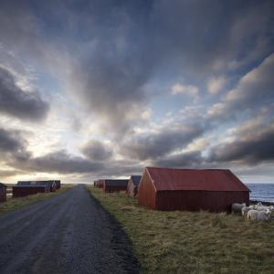 Red Huts and Sheep at Sunset on Coast, Lofoten Islands, Norway, Scandinavia, Europe by Purcell-Holmes