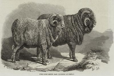 Pure Saxon Merino Rams, Exhibited at Breslau-Samuel John Carter-Giclee Print