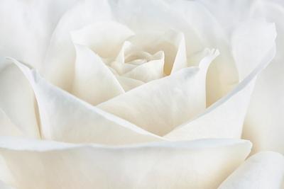 https://imgc.artprintimages.com/img/print/pure-white-rose_u-l-q12u1kq0.jpg?p=0