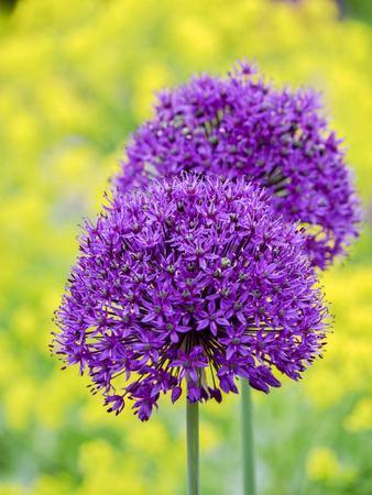 https://imgc.artprintimages.com/img/print/purple-allium-blooming-amongst-yellow-flowering-plants_u-l-q1gt9fn0.jpg?p=0