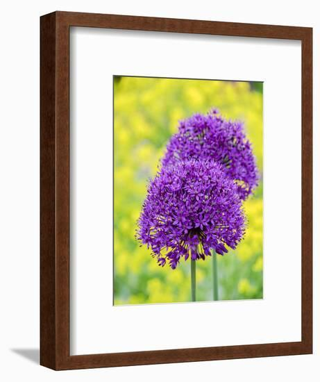 Purple allium blooming amongst yellow flowering plants.-Julie Eggers-Framed Photographic Print