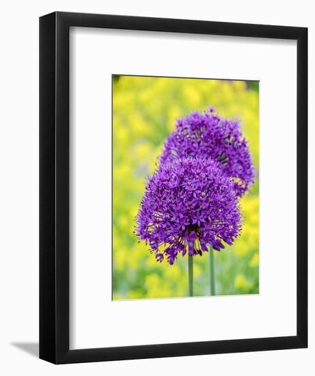 Purple allium blooming amongst yellow flowering plants.-Julie Eggers-Framed Photographic Print
