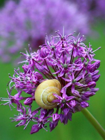 Purple Allium Flower-Wonderful Dream-Art Print