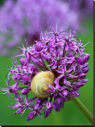 Purple Allium Flower-Wonderful Dream-Stretched Canvas Print