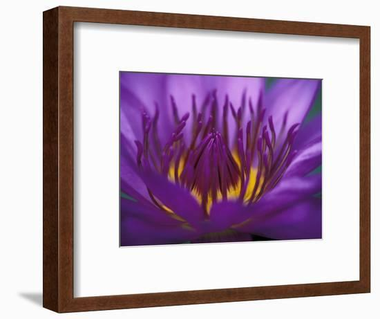 Purple and Yellow Lotus Flower, Bangkok, Thailand-Merrill Images-Framed Photographic Print
