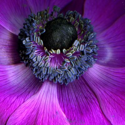Purple Anemones-Magda Indigo-Photographic Print