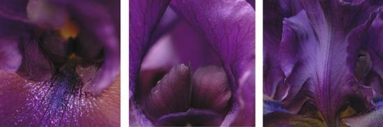 Purple Bearded Iris Triptych-Anna Miller-Photographic Print