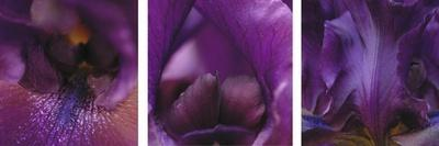 https://imgc.artprintimages.com/img/print/purple-bearded-iris-triptych_u-l-q10vkbq0.jpg?p=0
