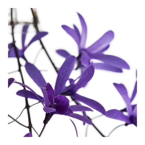 Purple Blossom-PhotoINC Studio-Art Print