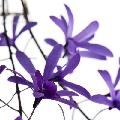 Purple Blossom--Photographic Print