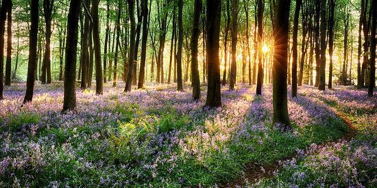 purple-bluebell-woods-sunrise